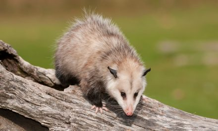 Ways To Get Rid Of Possums From Your Home